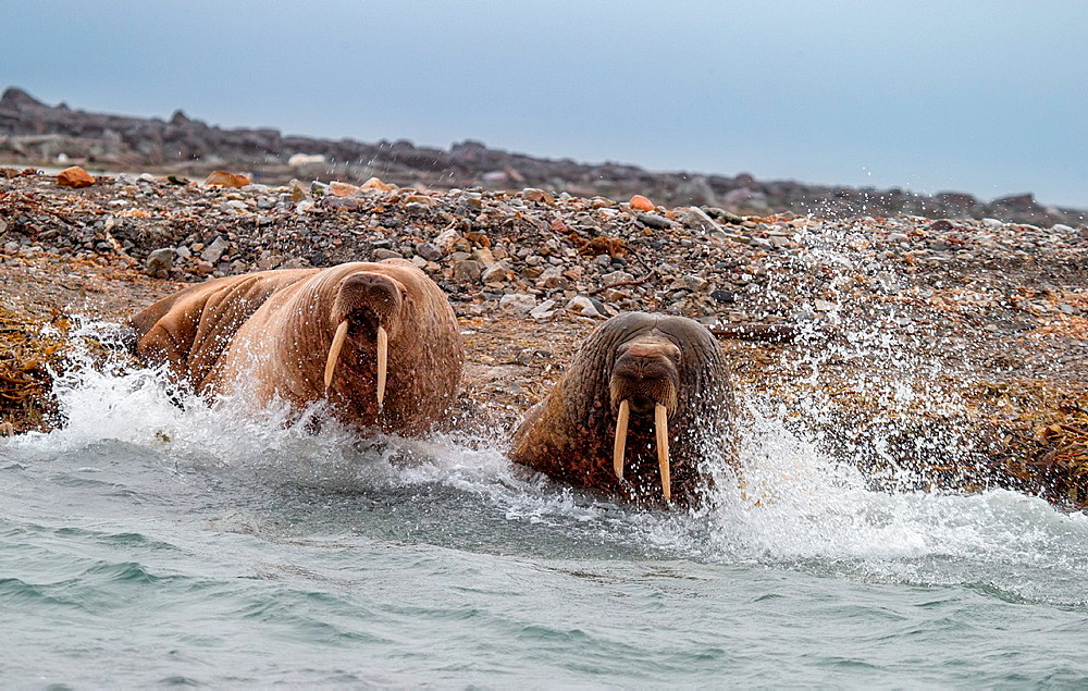 Walruses on the beach, Spitsbergen, Svalbard, Norway.