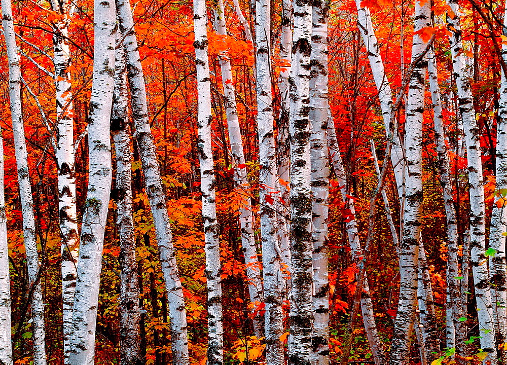 Autumn colors in the Superior National Forest, Minnesota - 817-442568
