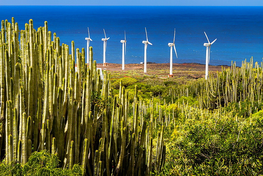 Canary Island spurge (Euphorbia canariensis) and wind turbines in Punta Teno. Tenerife, Canary Islands, Atlantic Ocean, Spain.