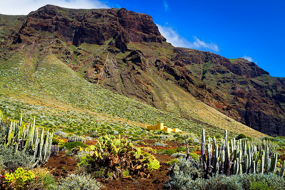 Canary Island spurge (Euphorbia canariensis) Indian fig (Opuntia ficus-indica) in Punta Teno.
