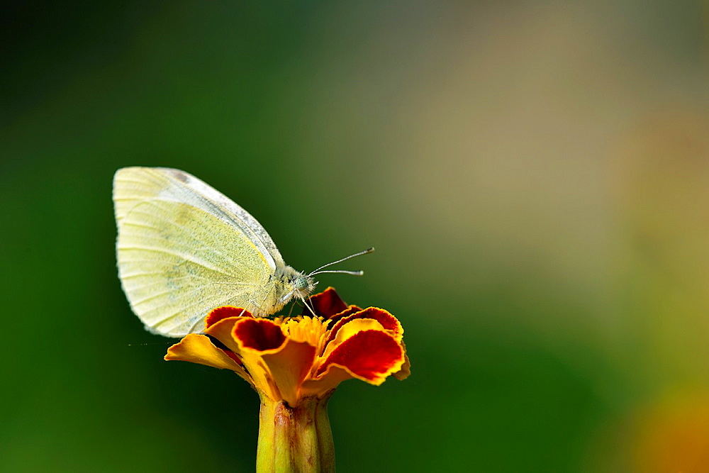 Small White, Pieris rapae, Crete