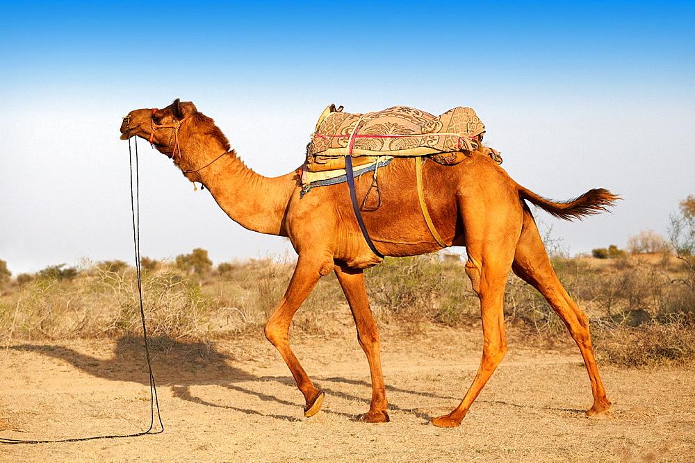 Camel in the Thar Desert near Jaisalmer, Rajasthan, India.