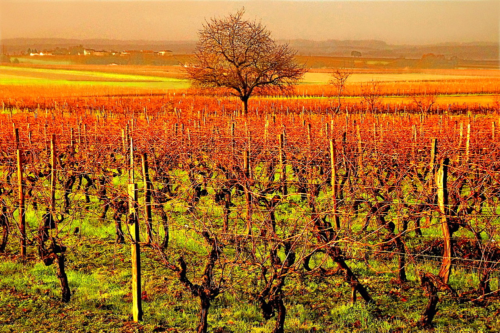 Cognac wine fields by Bassac in autumn, Charente, Poitou-Charentes, France