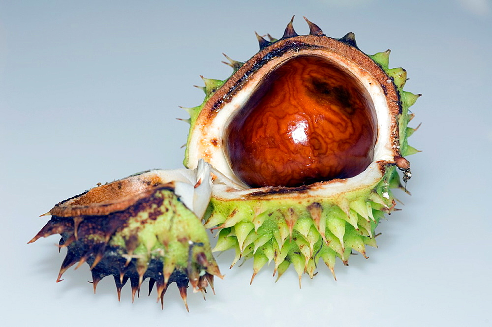 Conker, seed of Horse chestnut (Aesculus hippocastanum). UK. Introduced but widely planted.