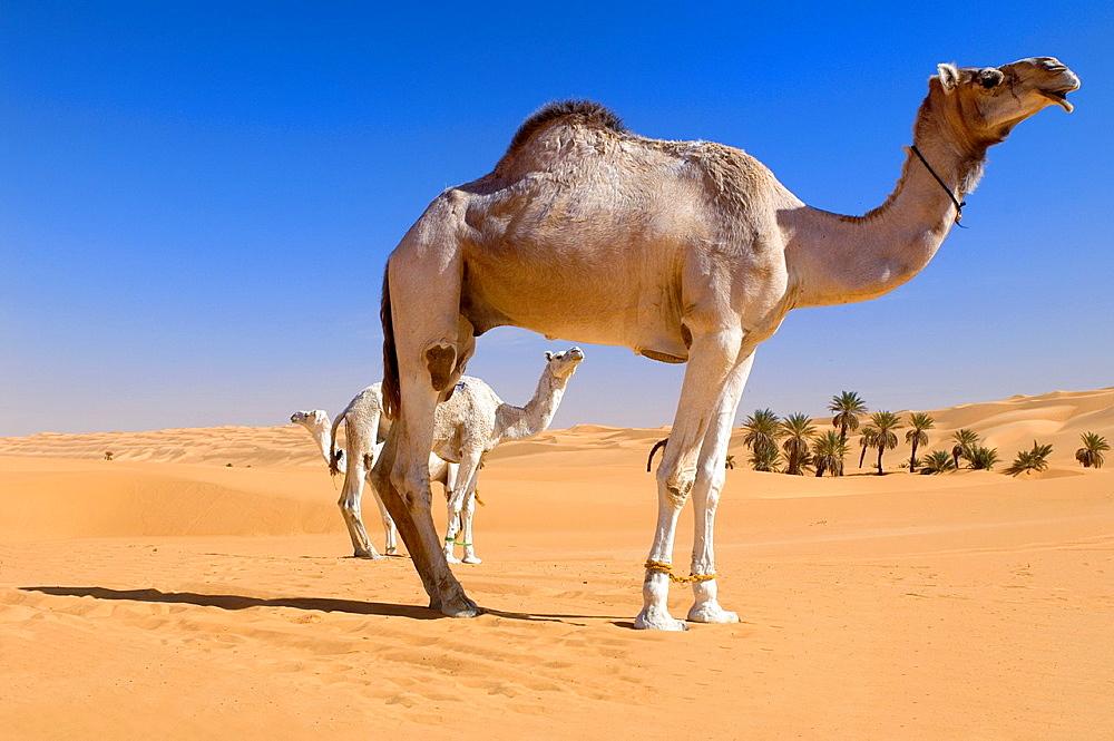Camel, Um el Ma Area, Libyan Desert, Libyan Arab Jamahiriya.