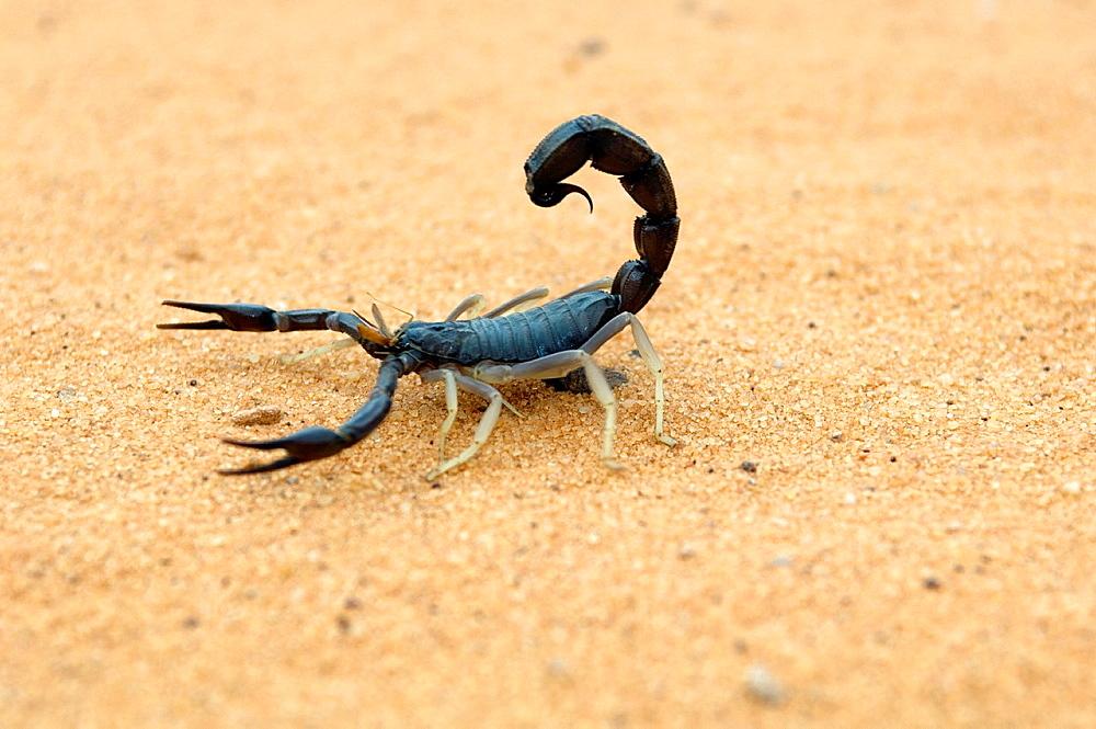 Scorpion, Akakus Area, Libyan Arab Jamahiriya, Libyan Desert.