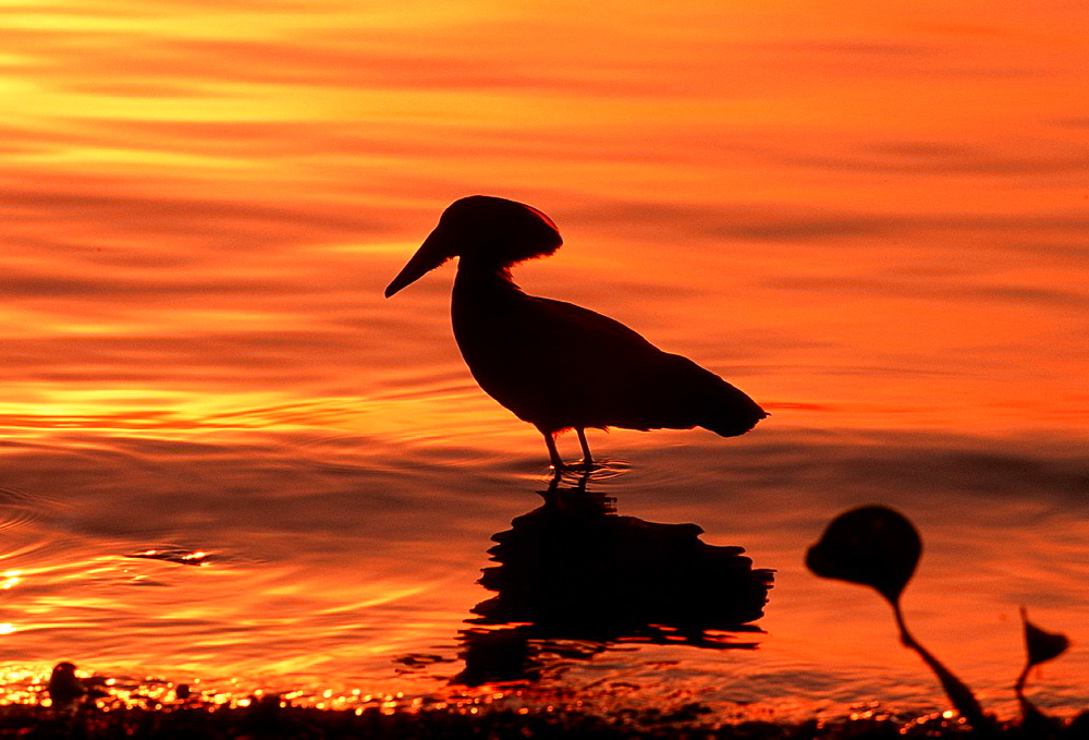 Hammerkop, Scopus umbretta, Sunrise time, Queen Elisabeth NP, Uganda.