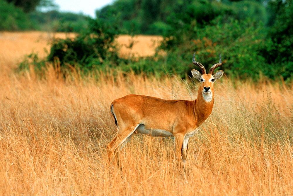 Uganda Kob, Kobus kob thomasi, Male, Murchison Falls NP, Wildlife, Uganda.