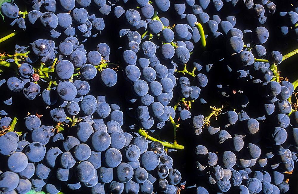 Grapes, Ohanes.Alpujarras, Almeria province, Andalucia, Spain.