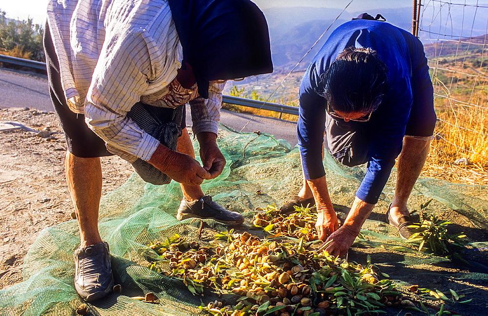 Women collecting almonds, Ohanes.Alpujarras, Almeria province, Andalucia, Spain.