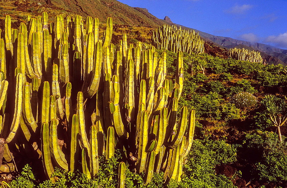 Cactus in Las Playas, El Hierro, Canary Island, Spain, Europe.