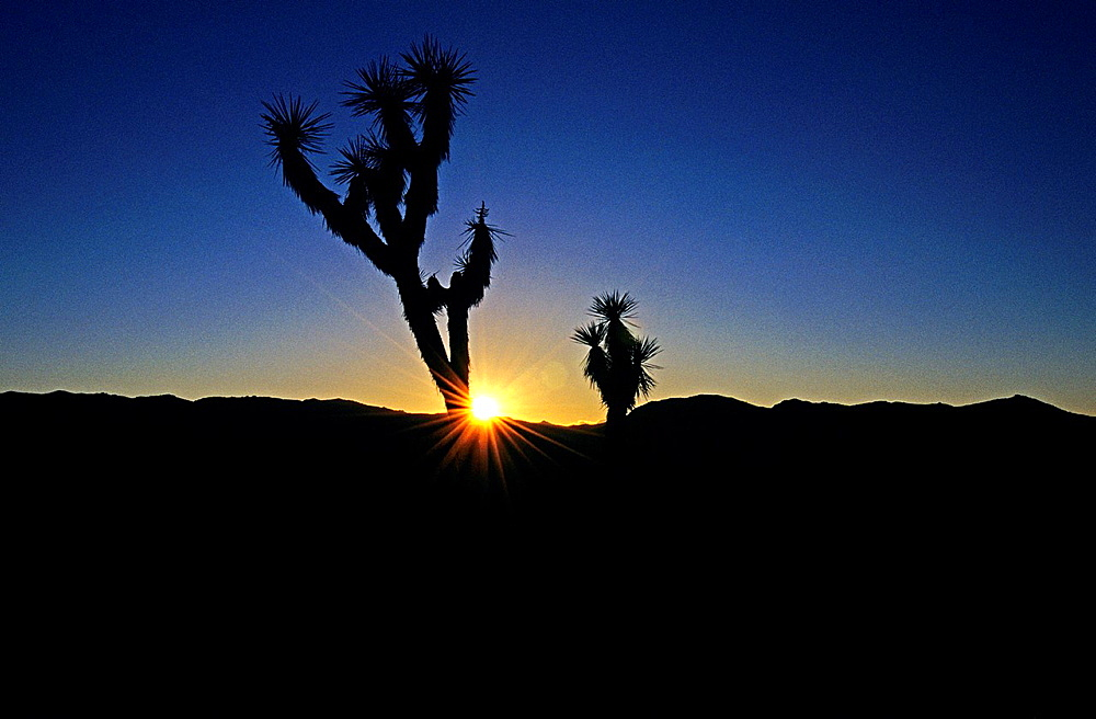 Joshua Tree, Joshua Trees silhouetted during sunset near Hidden Valley at Joshua Tree National Park in southern California.