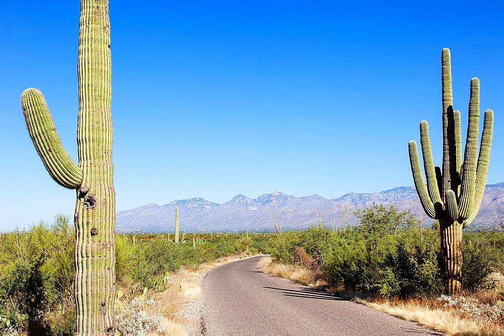 Giant Cacti in Saguaro N.P. , Arizona, USA.