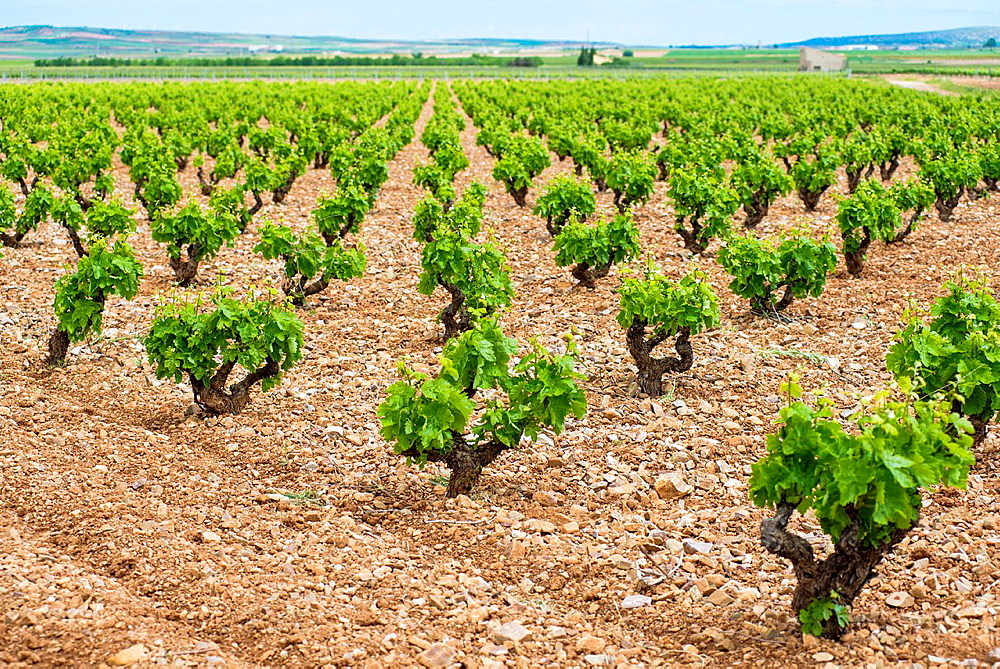 Vineyards of Carinena wine region in spring. Saragossa, Aragon, Spain.