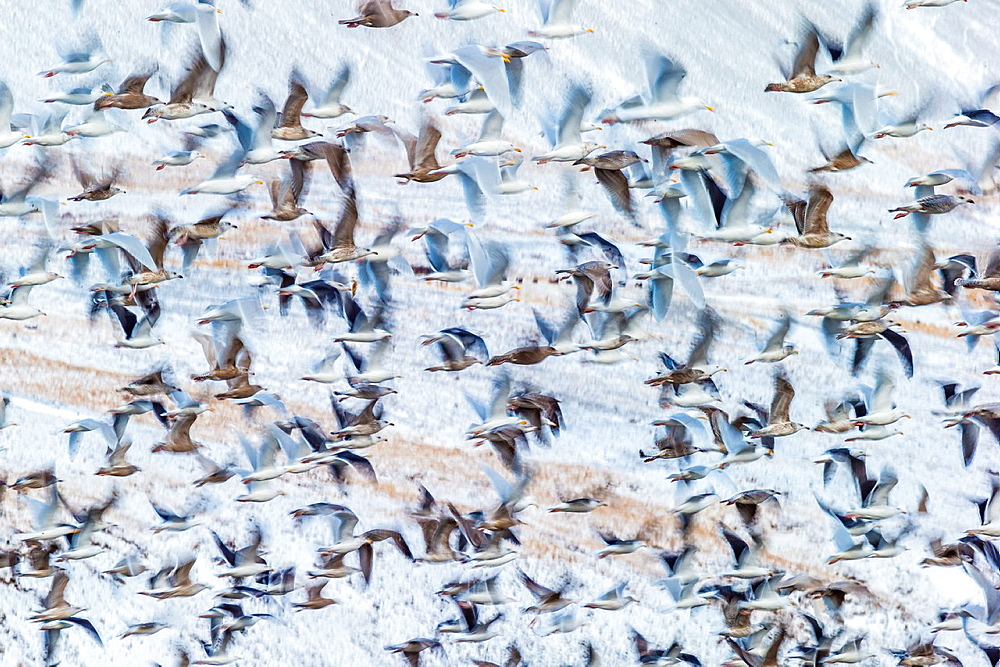 Flock of Seagulls, Winter time, Kolgrafarfjordur, Snaefellsnes Peninsula, Iceland.
