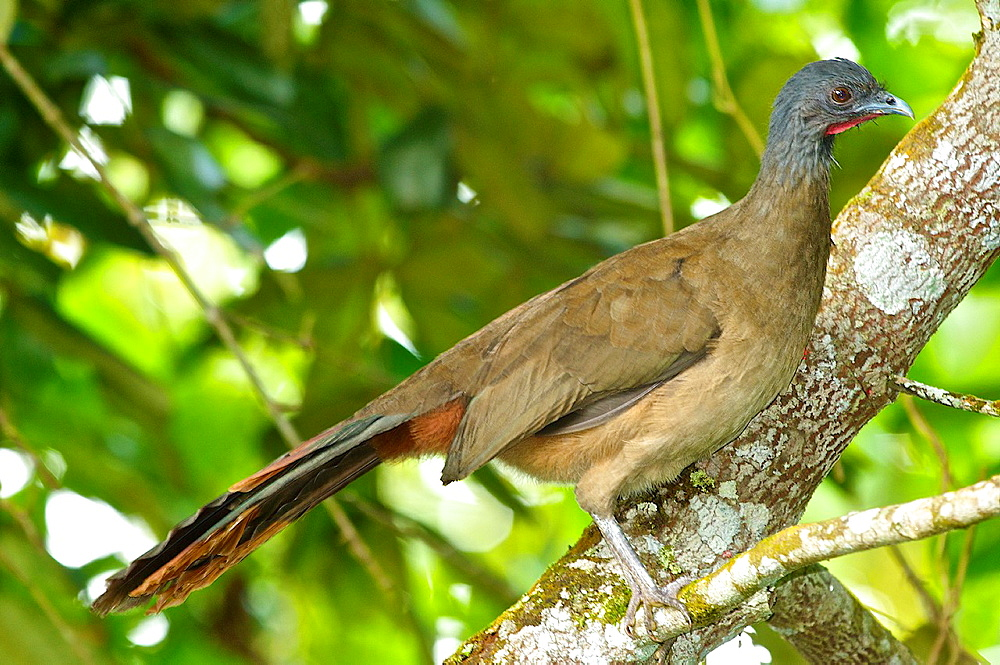 Rufous-vented Chachalaca (Ortalis ruficauda) in in the cloud forest near Caracas, Venezuela.