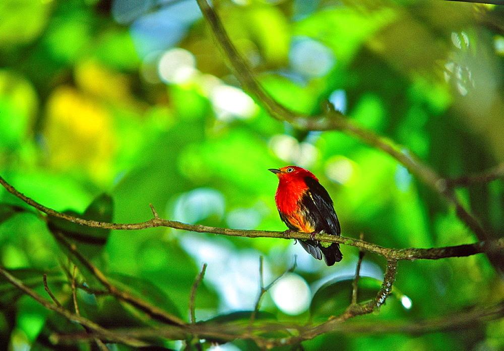 Crimson-hooded manakin (Pipra aureola) in the Montane rain forest of Peninsula de Paria National Park in Eastern Venezuela.