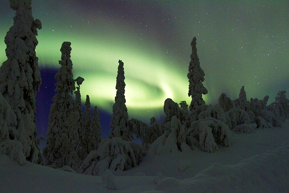 Aurora borealis, Northernlight over winter forest with snow on the trees in Gallivare in Swedish lapland.