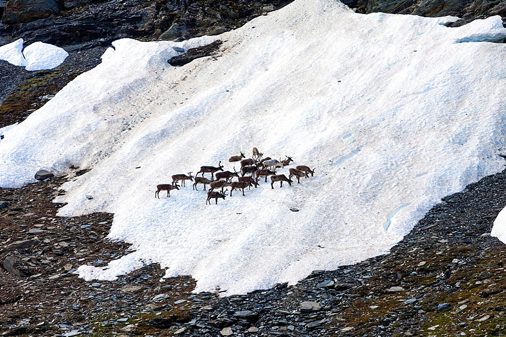 Reindeers gathering on a spot of snow in summer time along kungsleden in mountain area of swedish lapland.