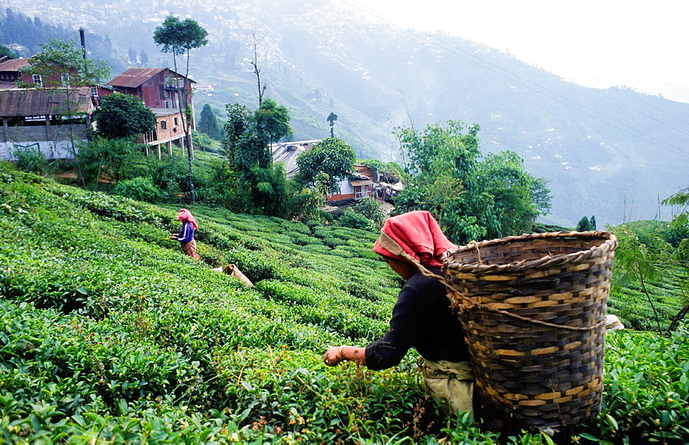 woman cutting tea leaves at tea plantation in Darjeeling, India