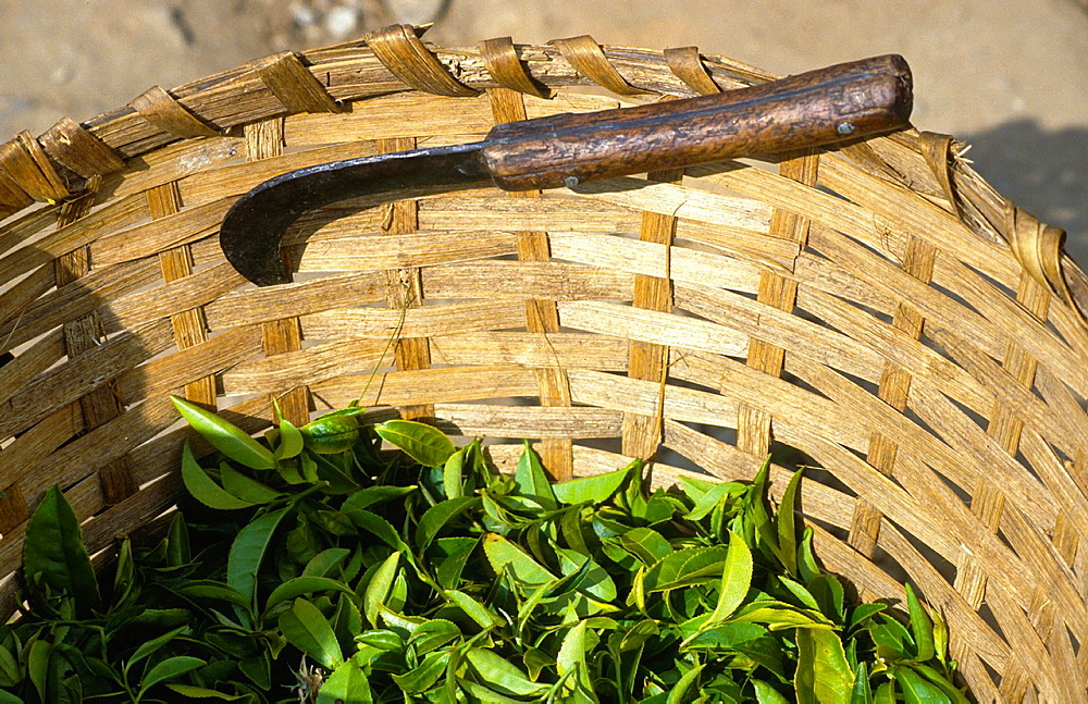 basket with tea leaves and knife, Darjeeling in India