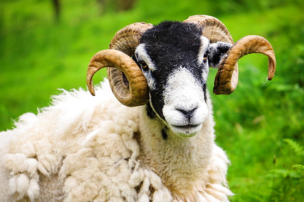 A moulting Swaledale sheep with large curled horns in the Lake District, Cumbria.