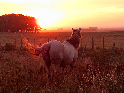 Criollo horse in field at sunset, Uruguay