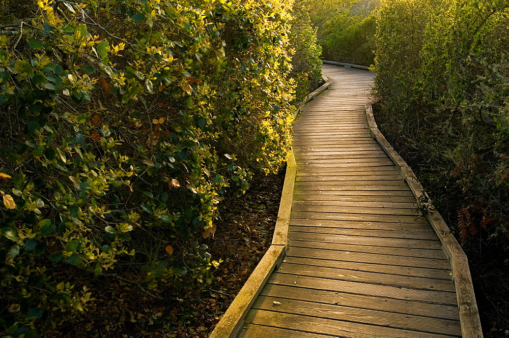 Wooden Boardwalk path walking trail through the El Moro Elfin Forest Natural Area, Los Osos, California.