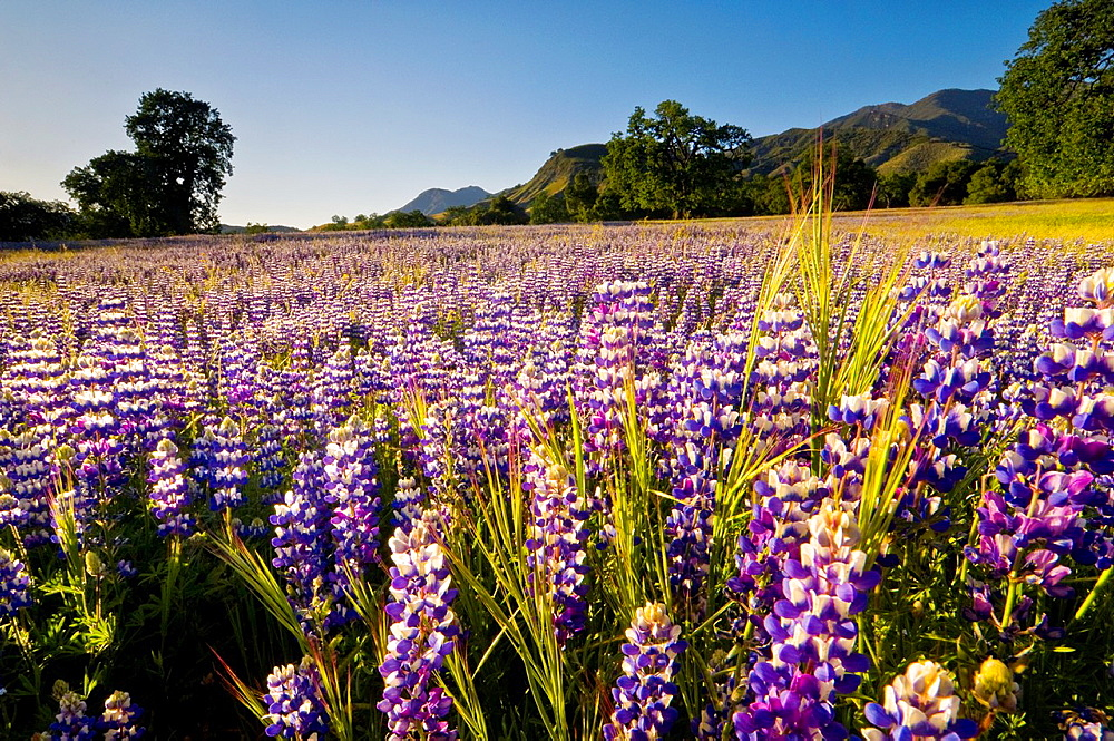 Field of purple lupine wildflowers and oak trees in Spring, Ventana Wilderness, Los Padres National Forest, California.