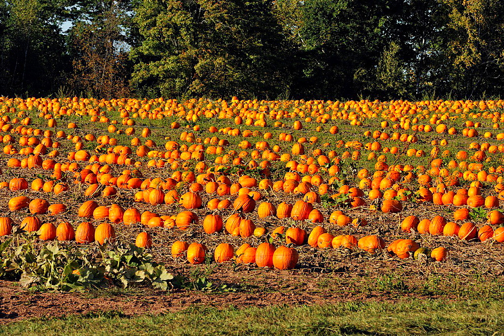 Pumpkin patch with ripe pumpkins ready for harvest, near Ashland, Wisconsin, USA.