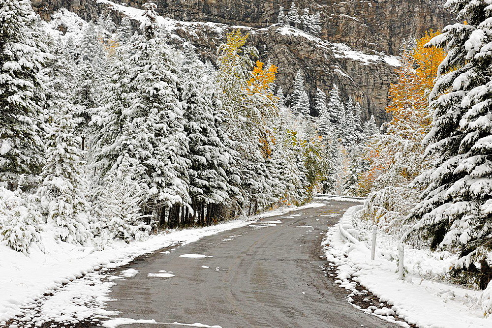 An early wet snowfall covers the aspens near Cameron Lake Road, Waterton Lakes National Park, Alberta, Canada.