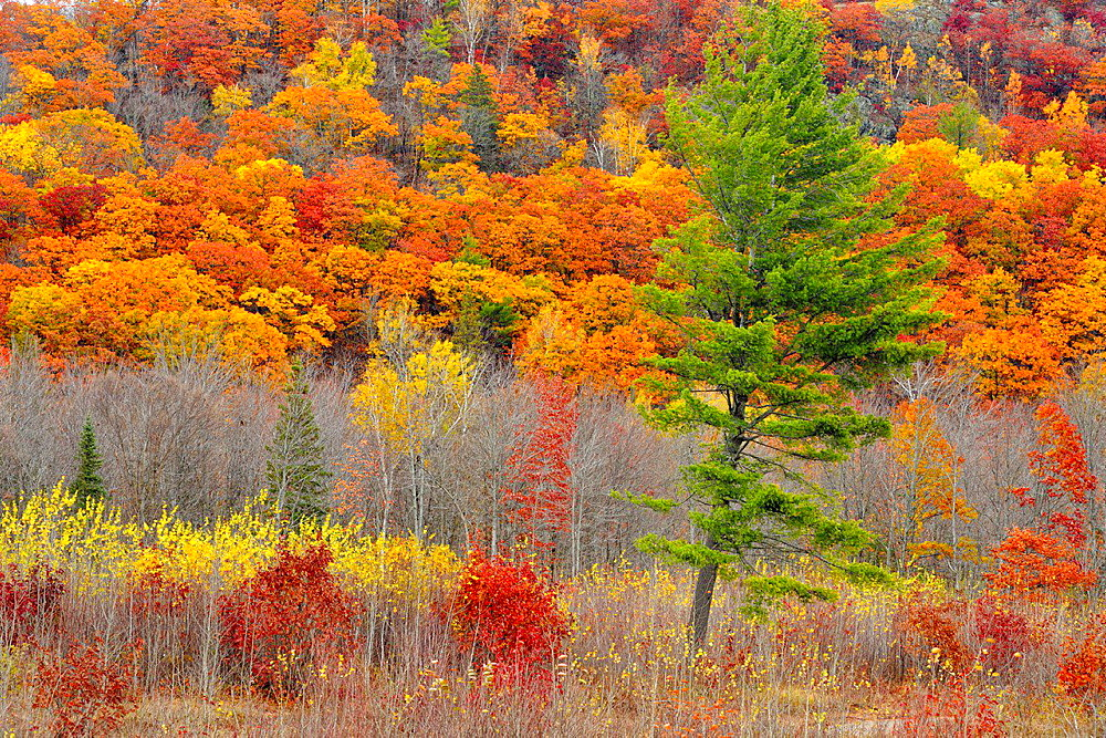 Hillside with late-autumn pine, oak and aspen, near Echo Bay, Ontario, Canada.