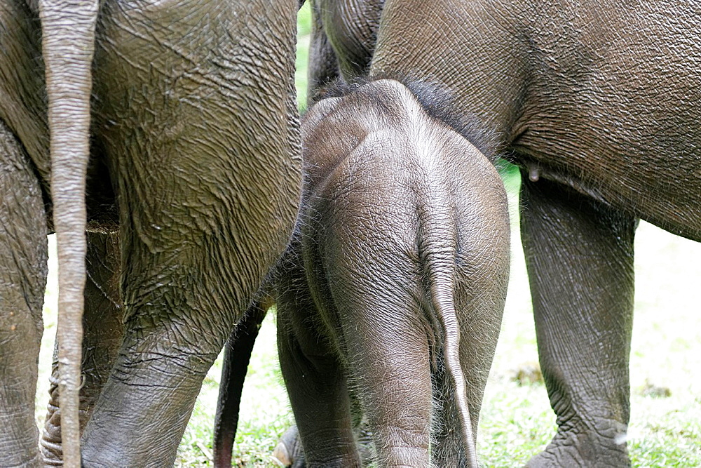 Asian or Asiatic elephant  Elephas maximus  Myanma Timber Enterprise  Katha area  Sagaing Division  Burma  Republic of the Union of Myanmar.