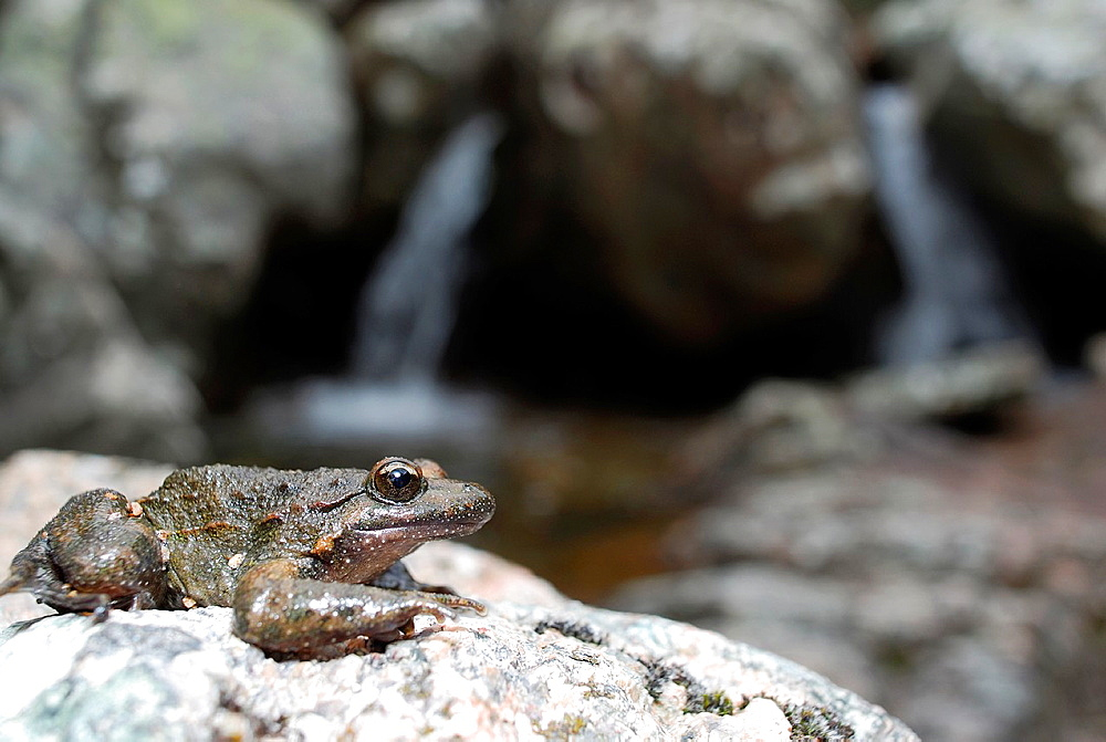 Tyrrhenian painted frog Discoglossus sardus in a stream of Sette Fratelli mountains, Sardinia, Italy
