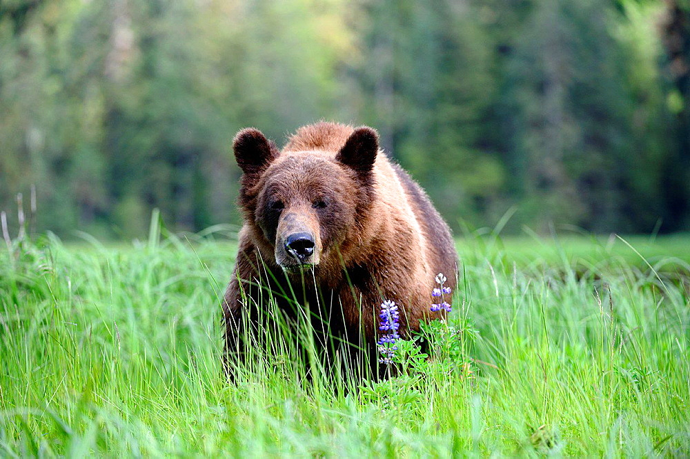 A male grizzly bear (Ursus arctos horribilis) feeding on Nootka lupine, Khutzeymateen Grizzly Bear Sanctuary, British Columbia, Canada, June 2013.