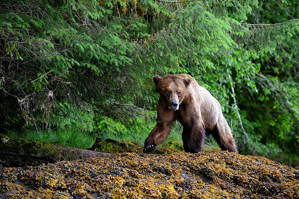 Male grizzly bear walking along the banks of the Khutzeymateen inlet (Ursus arctos horribilis), Khutzeymateen Grizzly Bear Sanctuary, British Columbia, Canada, June 2013.