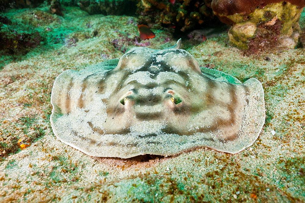 Reticulated Round Ray, Urobatis concentricus, Cabo Pulmo Marine National Park, Baja California Sur, Mexico.