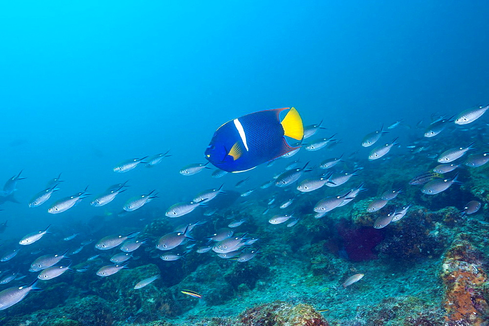 King Angelfish, Holocanthus passer, Cabo Pulmo Marine National Park, Baja California Sur, Mexico.