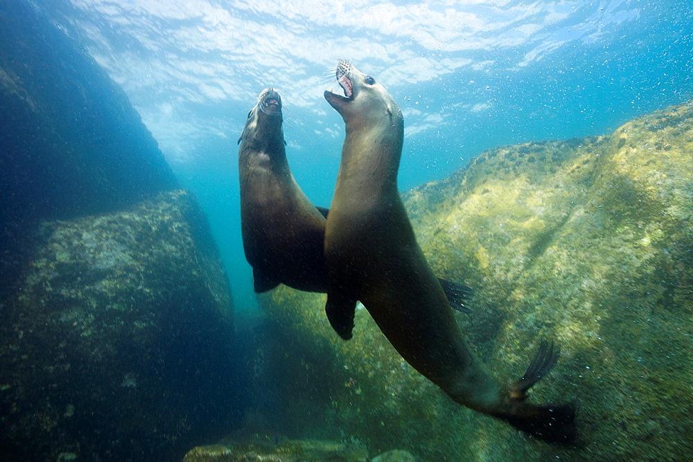 Californian Sea Lion, Zalophus californianus, Cabo Pulmo Marine National Park, Baja California Sur, Mexico.