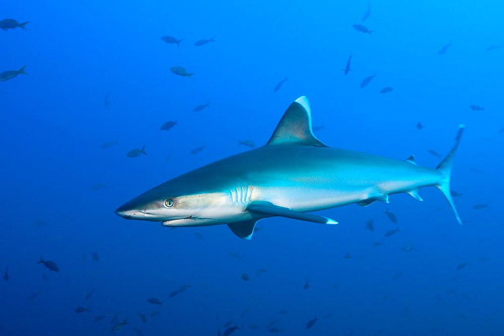 Silvertip Shark, Carcharhinus albimarginatus, Roca Partida, Revillagigedo Islands, Mexico.