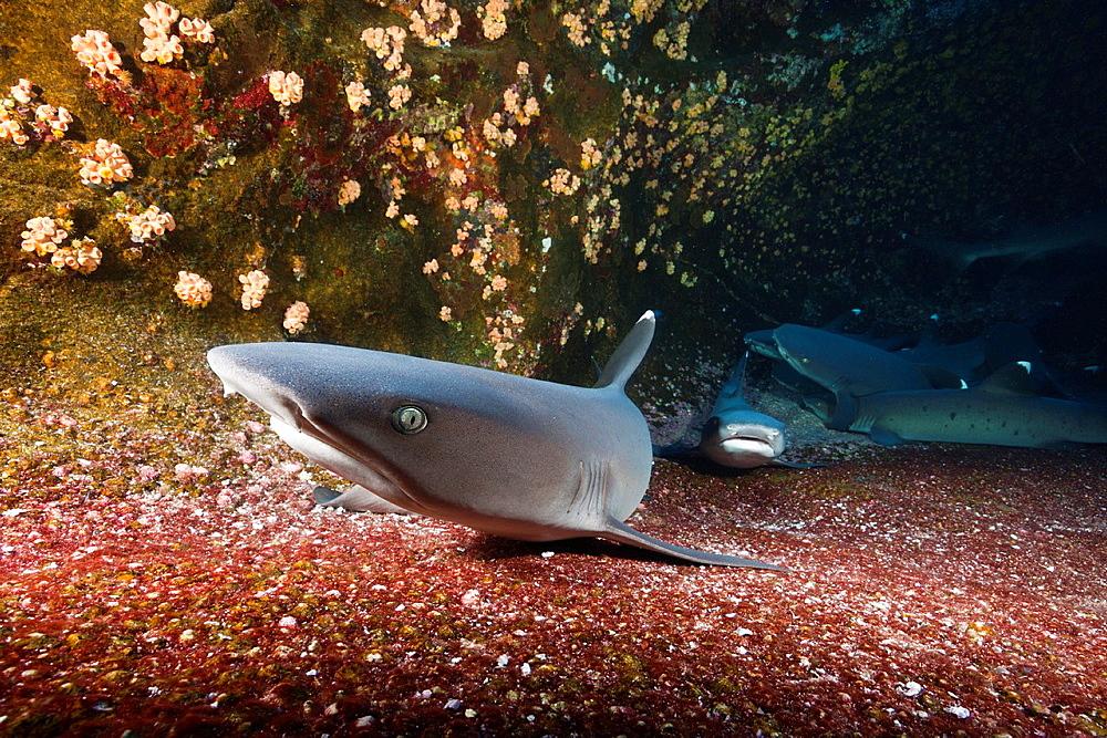 Whitetip Reef Shark resting in Cave, Triaenodon obesus, Roca Partida, Revillagigedo Islands, Mexico.