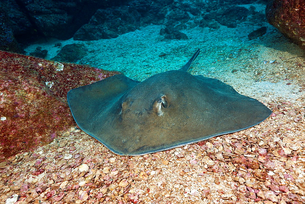 Diamond Stingray, Dasyatis brevis, San Benedicto, Revillagigedo Islands, Mexico.