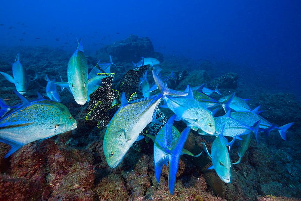 Bluefin Trevally, Caranx melampygus, Socorro, Revillagigedo Islands, Mexico.
