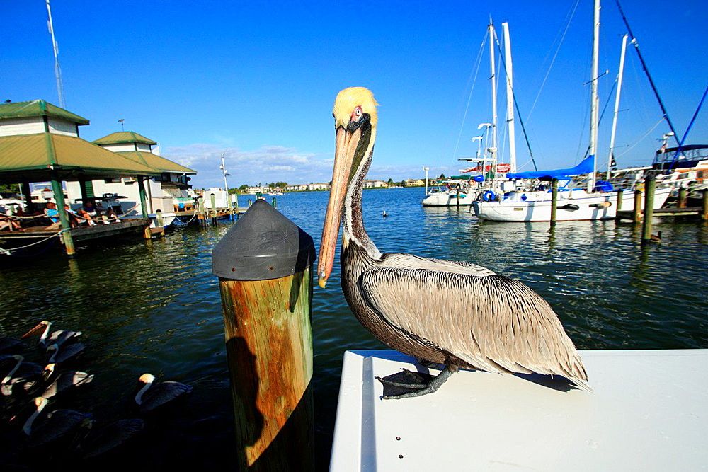 pelican at naples city dock naples florida usa.