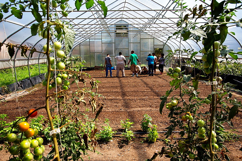 Detroit, Michigan, Students in the Earthworks Agricultural Training Program plant green onions in the greenhouse at the Capuchin Soup Kitchen. The nine-month program helps community members develop the skills they need to start their own community-based food project, or to get a job in an urban food production enterprise.