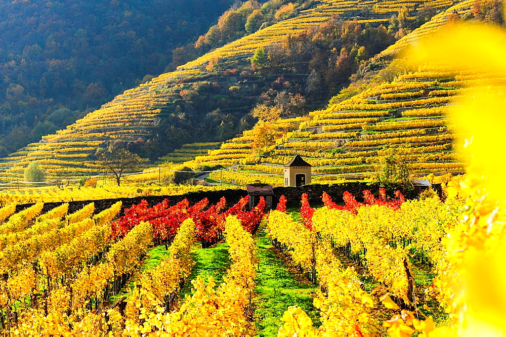 Austrian World Heritage Wachau in autumn, Austria, Lower Austria, Wachau, Weissenkirchen. - 817-455216