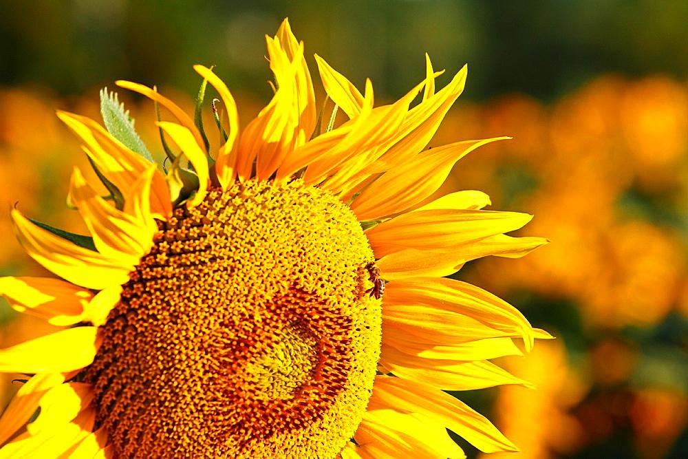Western honey bee (Apis mellifera) collecting nectar on sunflower plant (Helianthus annuus). Location: Male Karpaty, Slovakia.