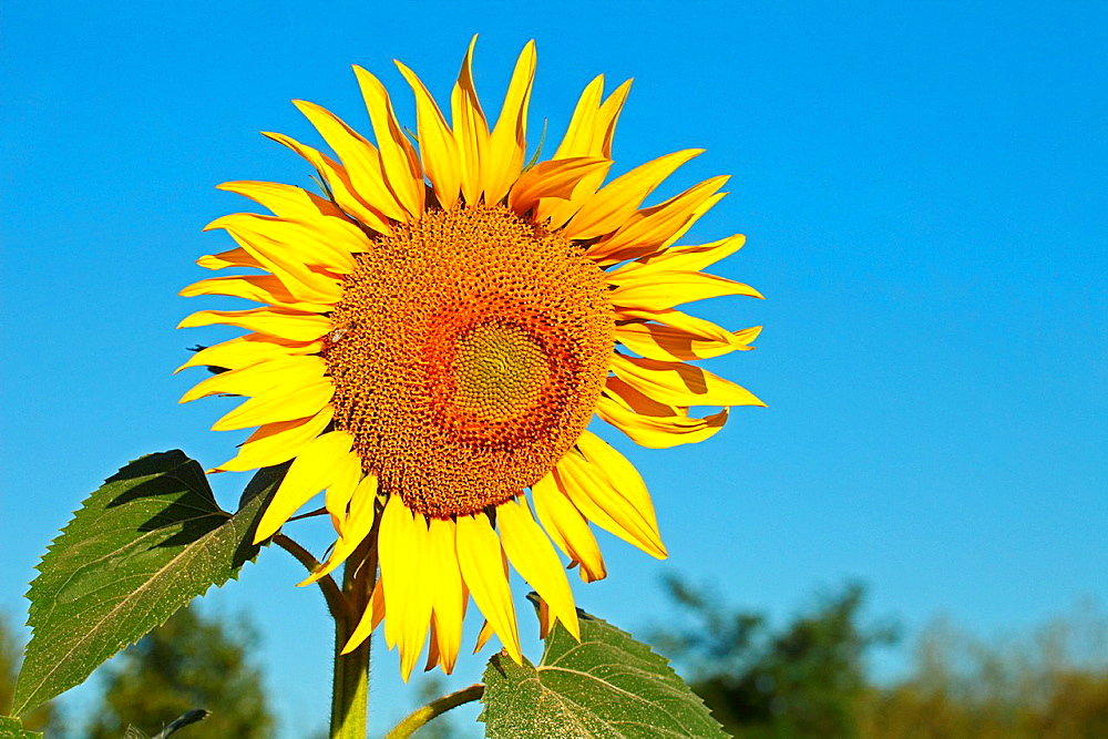 Sunflower plant (Helianthus annuus). Location: Male Karpaty, Slovakia.