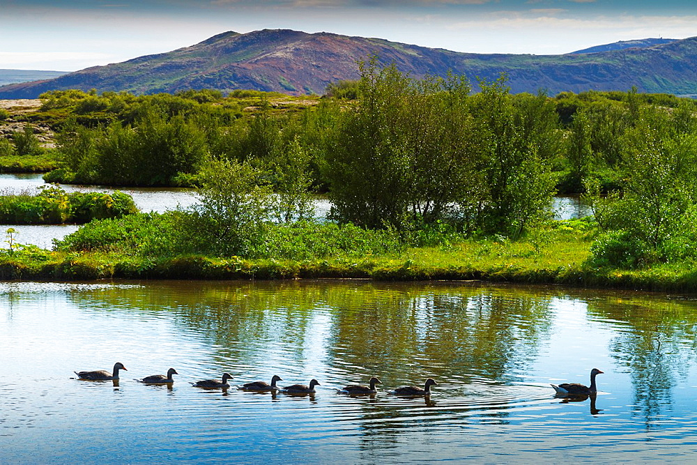 Greylag goose family (Anser anser). Rift Valley. Pingvellir National Park. Golden Circle, Iceland, Europe.