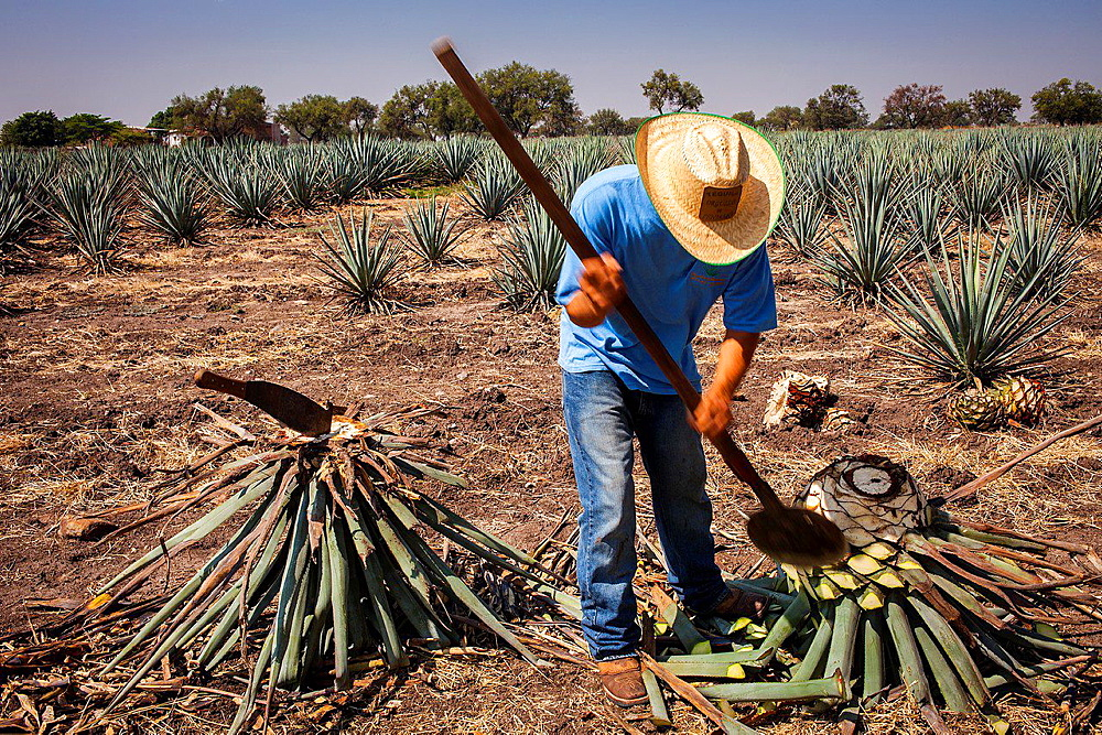Harvesting Agave (Jima).plantation of blue Agave in Rancho 'El Coyote', Penjamo, Guanajuato, Mexico.